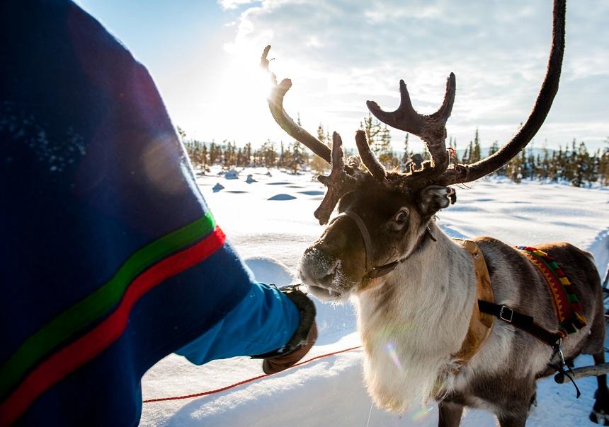 rendier Zweeds Lapland