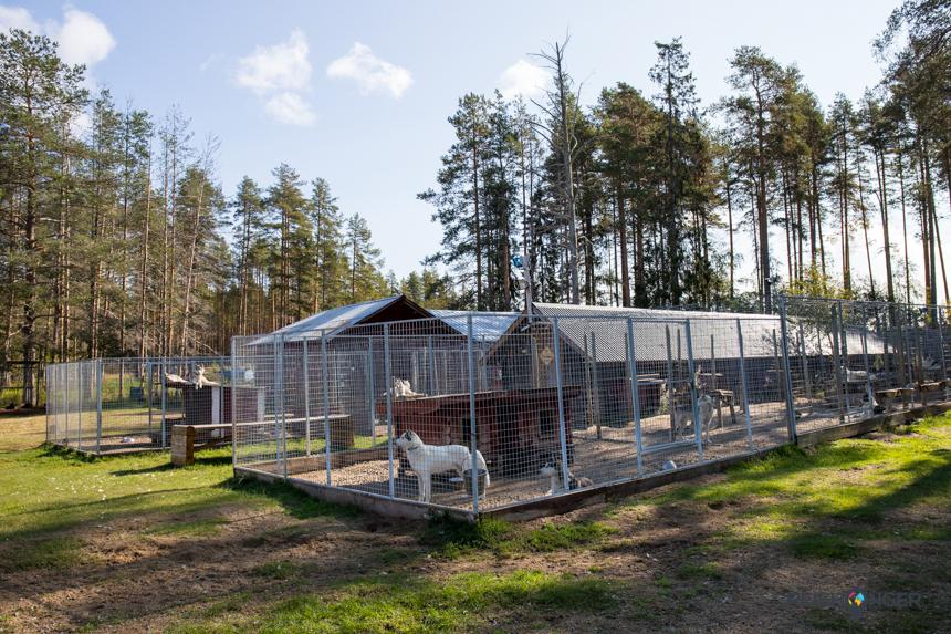 Siberische husky's in Zweeds Lapland