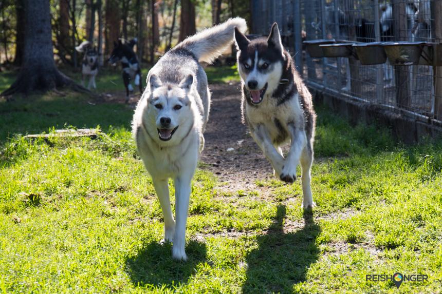 Siberische husky's
