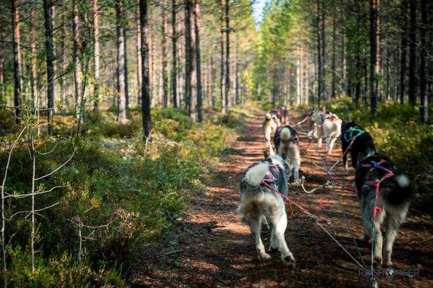 Sledehonden Zweeds Lapland