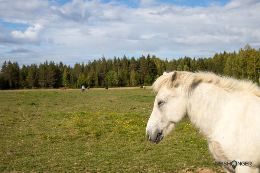 De IJslandse paarden van Floriane