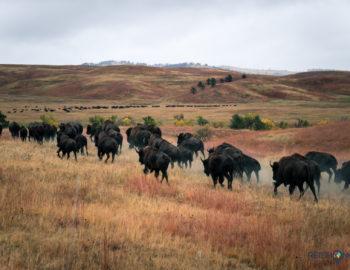 De Buffalo Roundup; alle bizons verzamelen!