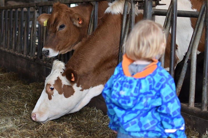 Koeien op kaasboerderij Ruyge Weyde bij Gouda