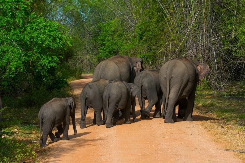 Olifanten in Minneriya National Park in Sri Lanka