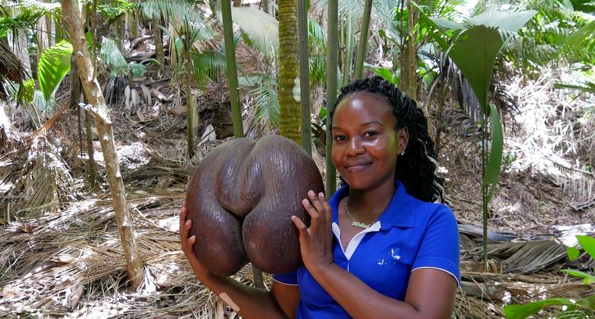 Op het eiland Praslin groeit de unieke Coco-de-Mer, die wel 35 kg weegt.