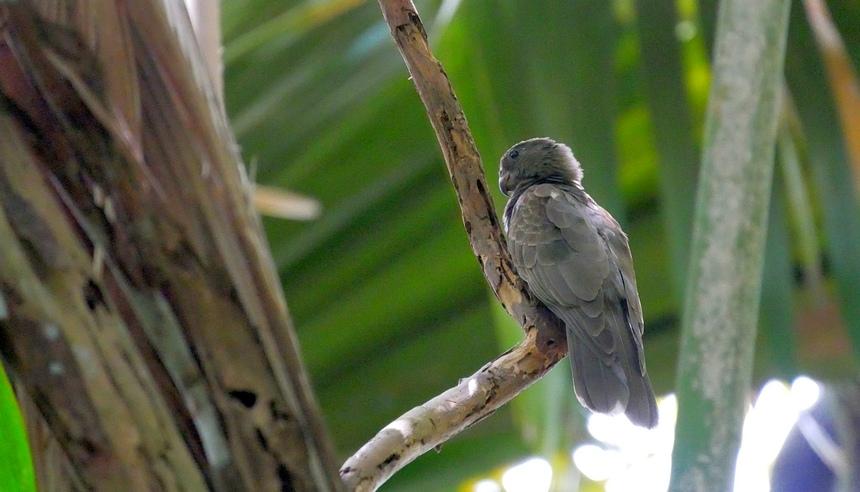 Op het eiland Praslin komt de Black Parrot voor, uniek in de wereld.