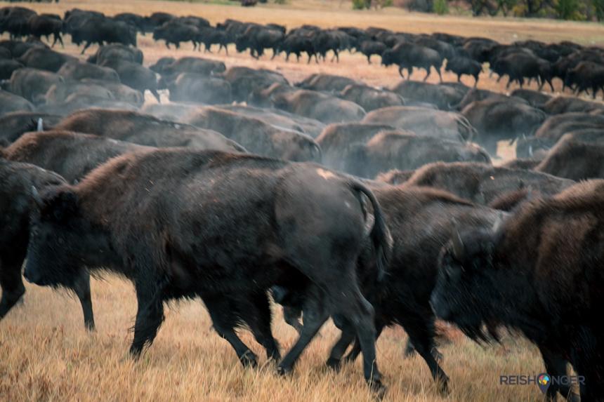 De kudde langszij trekkende bizons laat de grond trillen