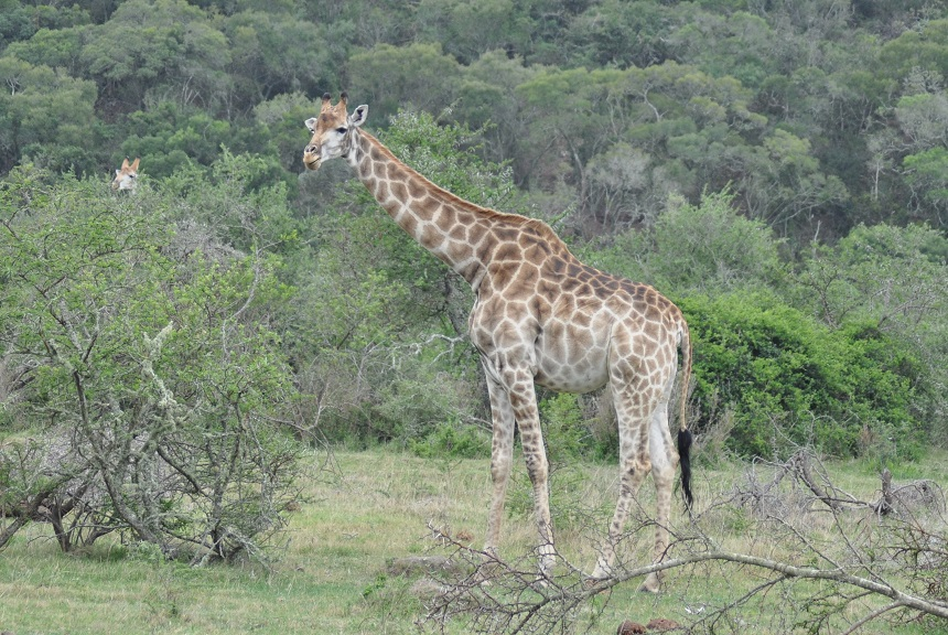 Elegante giraffe in Pumba Private Game Reserve