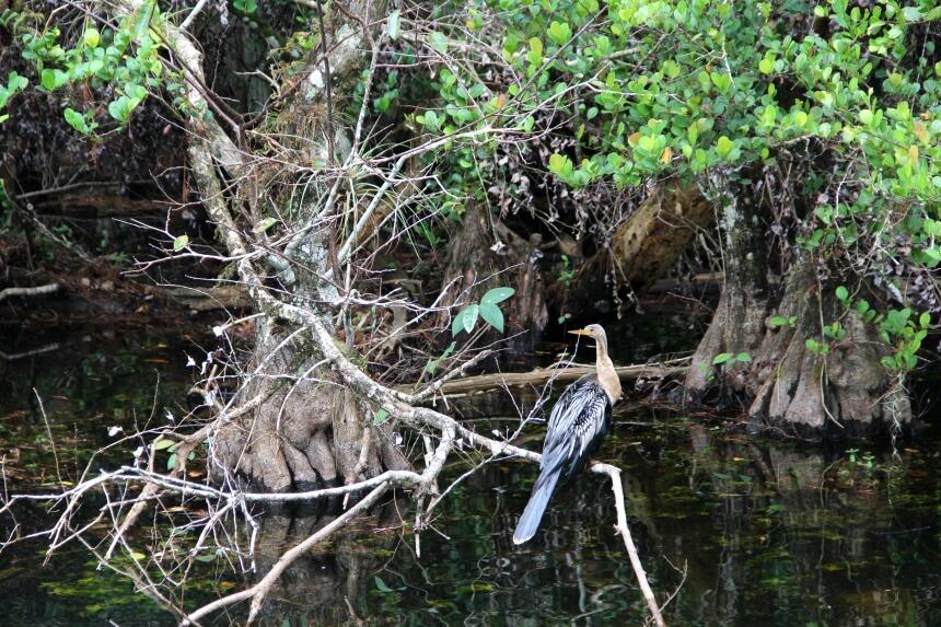 De slangenhalsvogel is een veel geziene soort in de Everglades