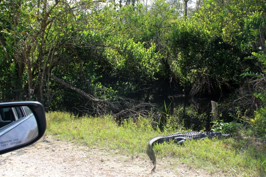 Op safari in de Everglades: met je eigen auto spot je alligators langs de Loop Road