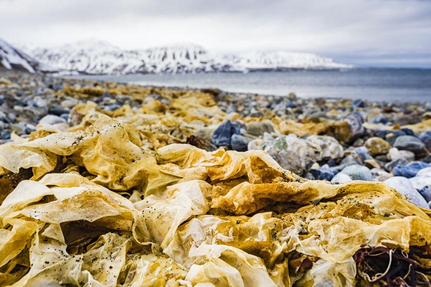Gedroogd zeewier op Spitsbergen