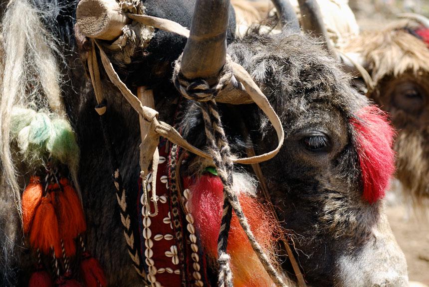Ruige yaks in Tibet