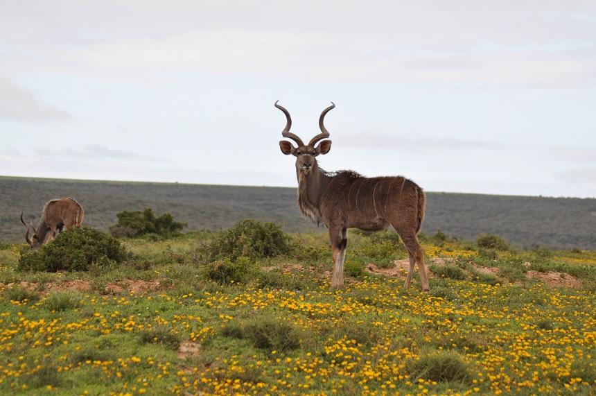 Kudu in Addo Elephant park