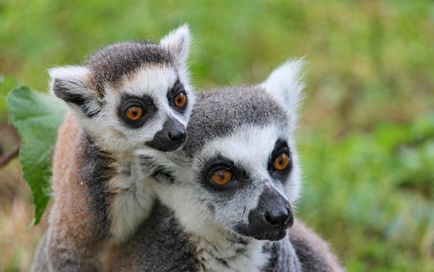 Maki's op Madagaskar