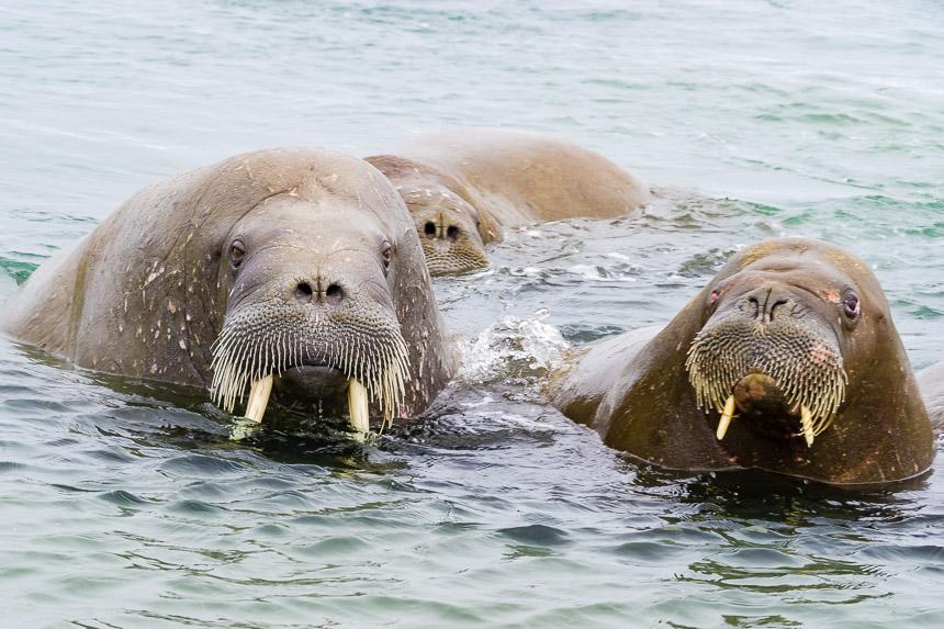 Spitsbergen - Nieuwsgierige walrussen