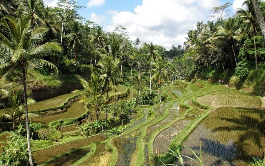 Rijstvelden in Ubud Indonesië