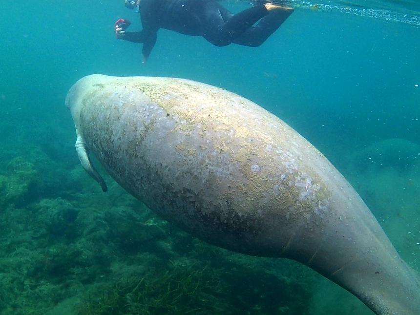Hier zie je goed hoe groot de zeekoeien zijn in verhouding tot mensen