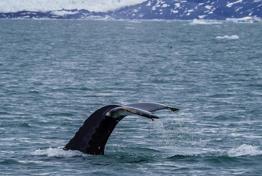 Spitsbergen - Walvis in klassieke pose