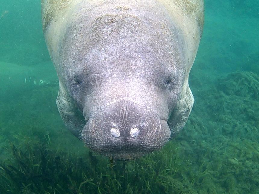 Zwemmen met zeekoeien in Crystal River: een must-do tijdens je Florida rondreis!