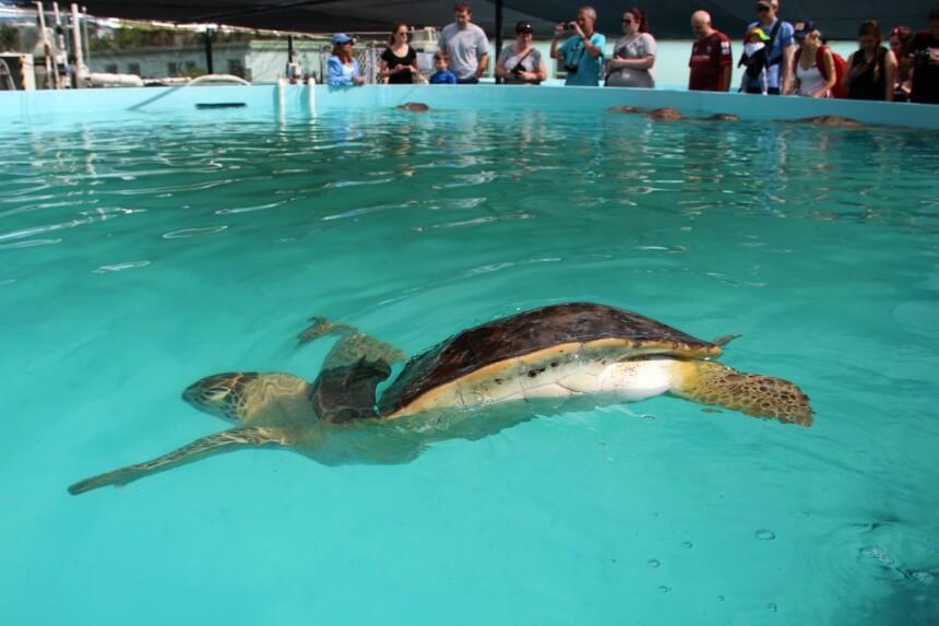 Veel 'permanente bewoners' hebben moeite met duiken en kunnen daarom niet terug naar het wild