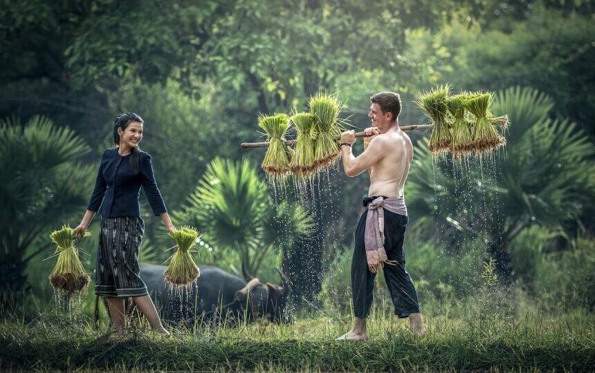 Oogsten met locals in Cambodja