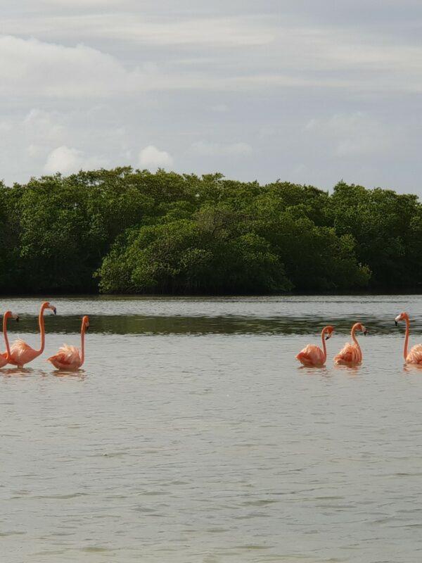 flamingo rio lagartos