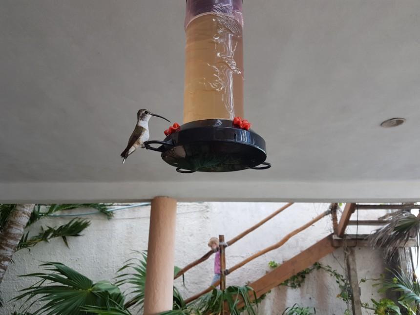 kolibrie rio lagartos