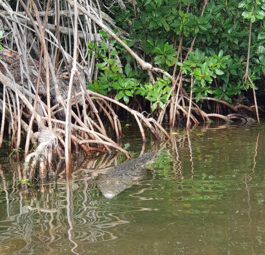 krokodil mangrove rio lagartos