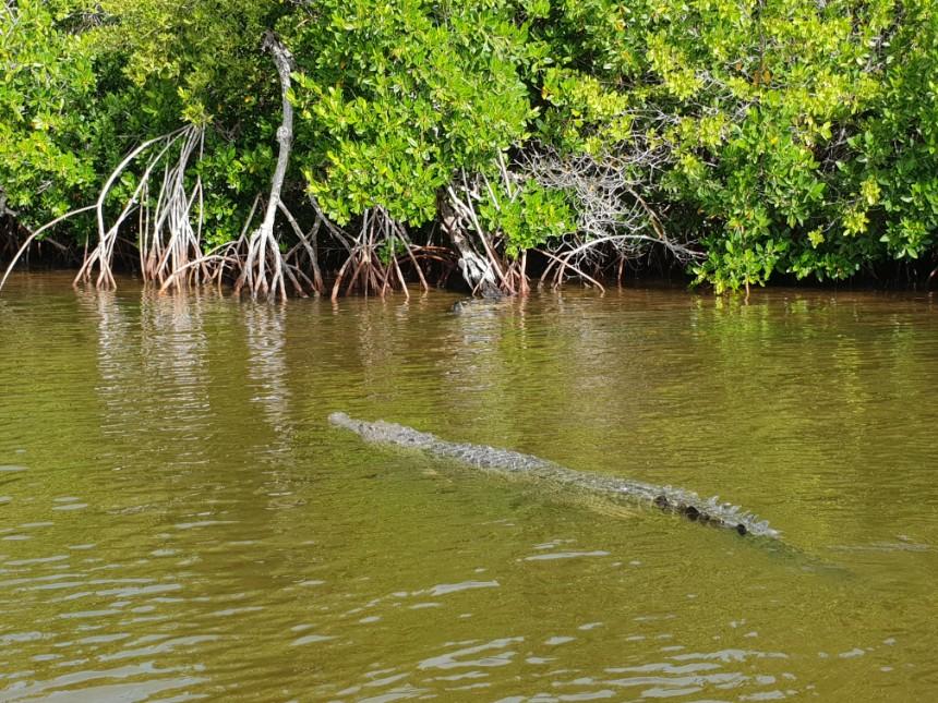 krokodil rio lagartos