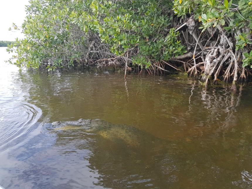 Morelet's crocodile Rio Lagartos