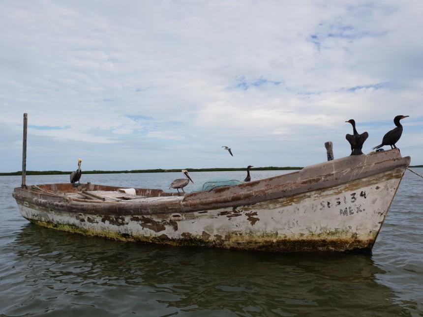 pelikanen rio lagartos