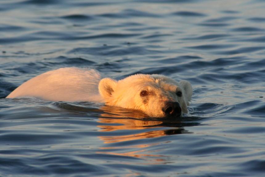 Spitsbergen rondreis ijsbeer