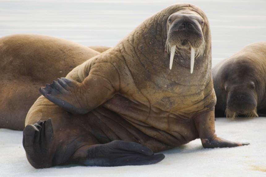 Walrus Spitsbergen
