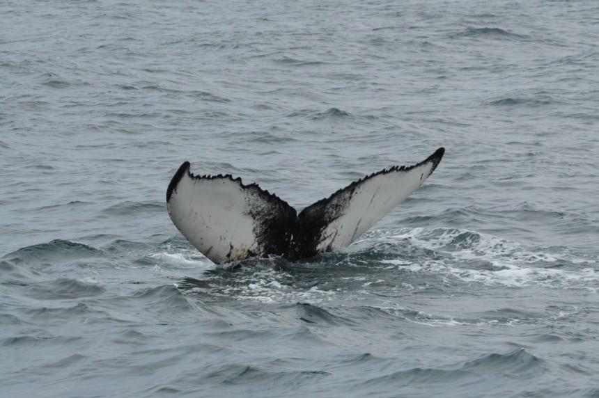 Spitsbergen walvis