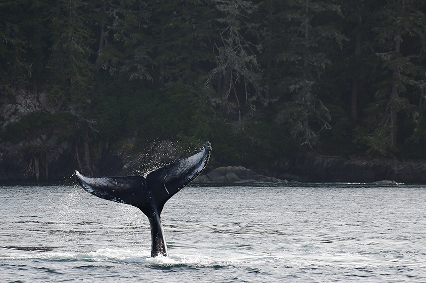 Humpback whale bij Telegraph Cove in Canada