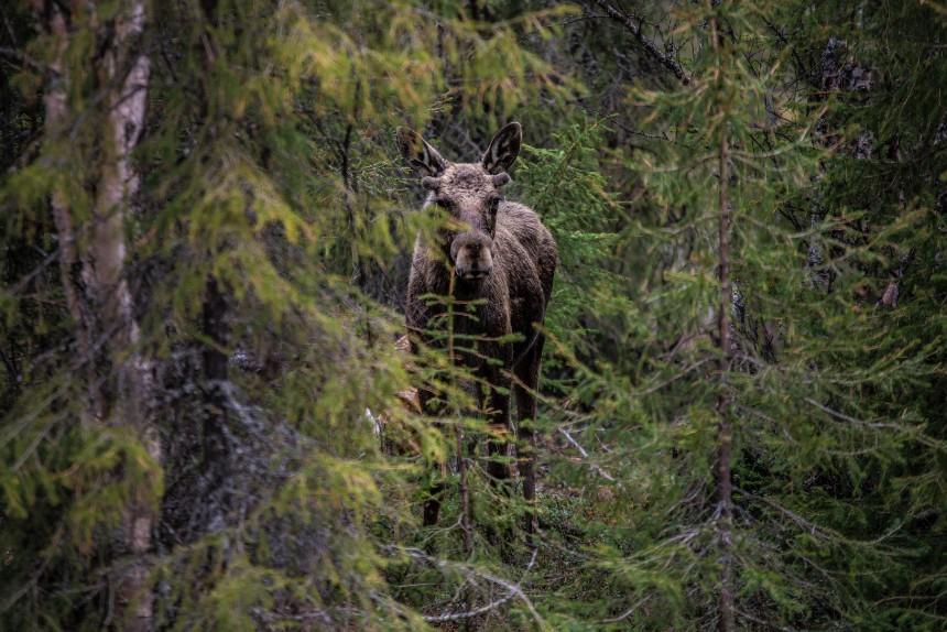 Elanden spotten in Zweden