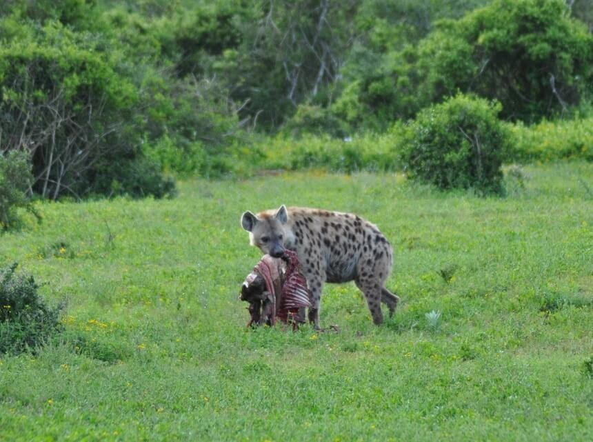 Hyena with a carcass in Addo Elephant Park