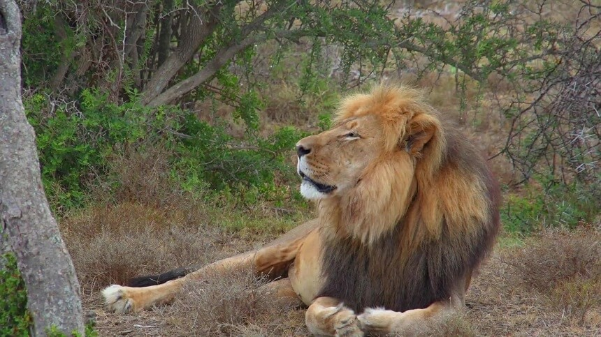 Sylvester: the most famous lion in South Africa