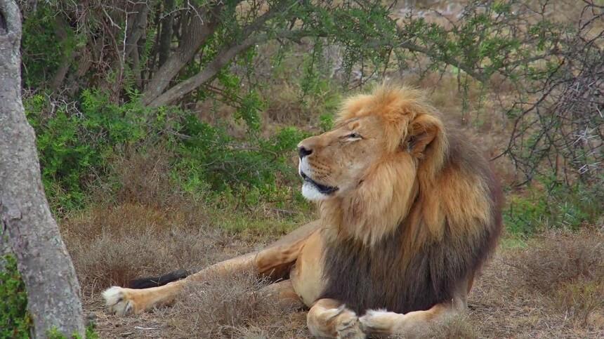 Sylvester: de beroemdste leeuw van Zuid-Afrika