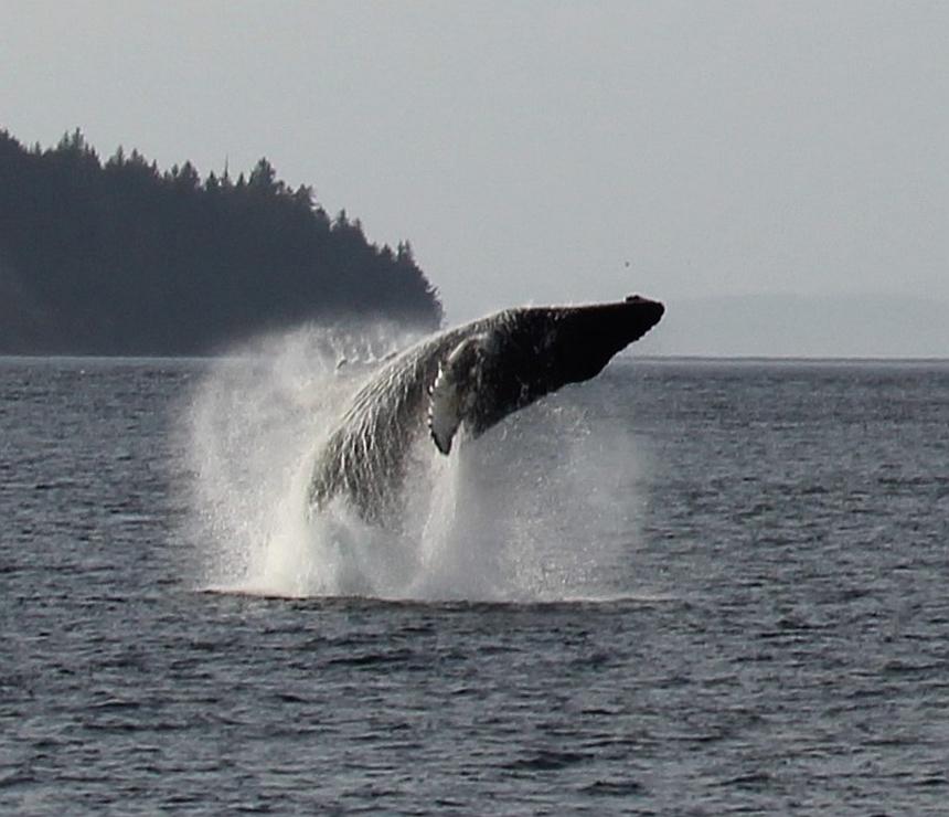 Walvis springt uit het water bij Telegraph Cove in Canada
