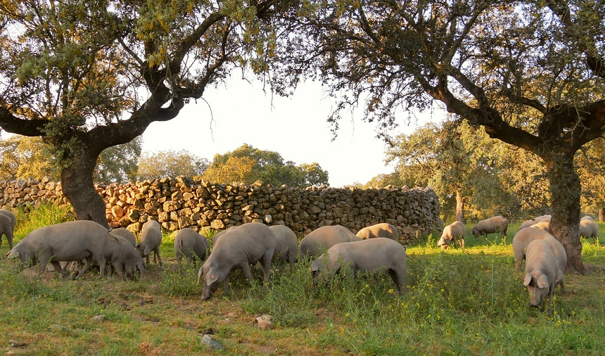 Zwarte varkens zijn hier grijs van de modder. Ze lopen vrij in het bos.