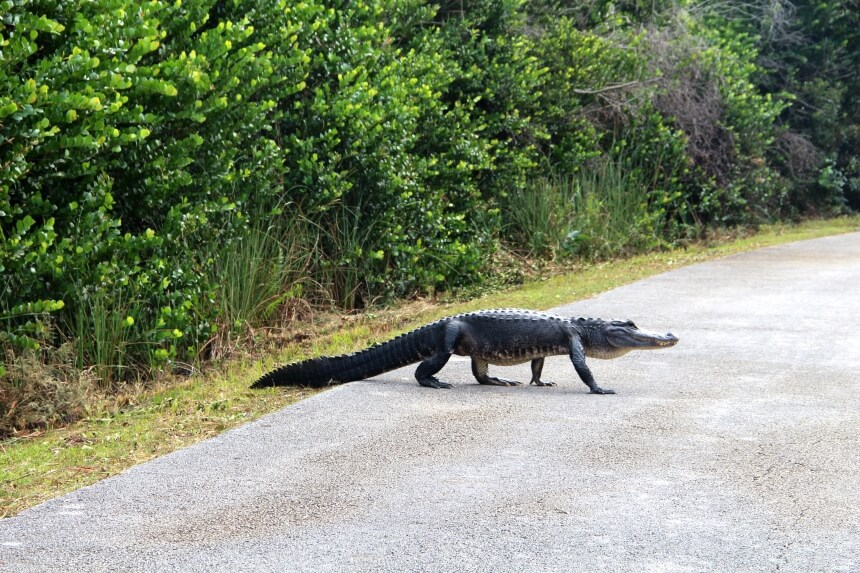 Spot meterslange alligators in de Everglades