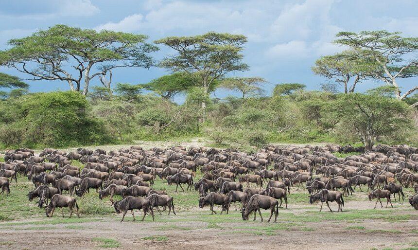 Makasa Tanzania Safaris Migratie reis