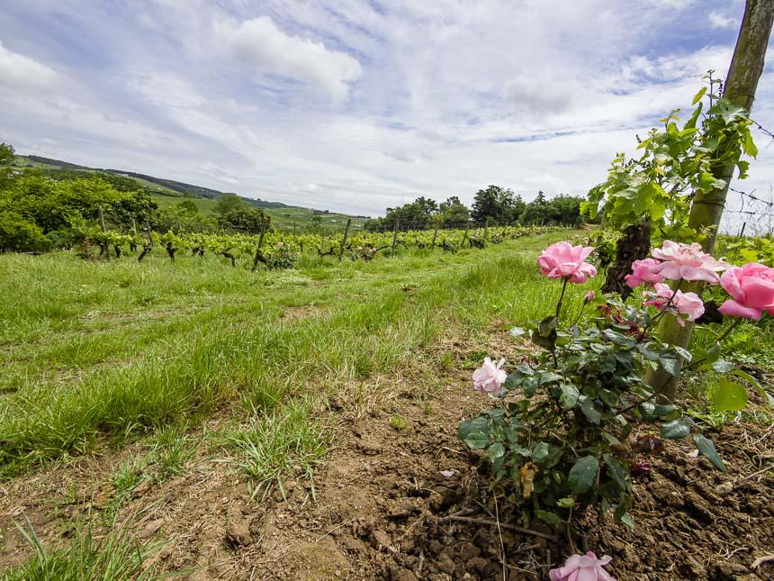 De roos signaleert ziektes bij Portugese wijnranken