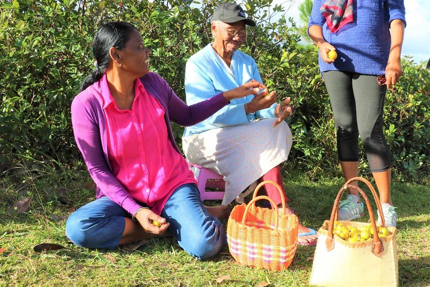 Mauritianen die guave vruchten in het wild plukken om in de straat te verkopen
