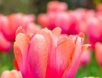 Tulpen in Ottawa