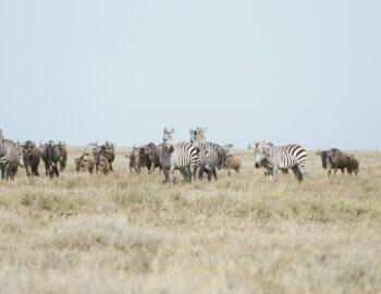 De grote migratie in de Serengeti
