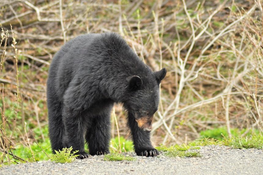 Beren op en langs de weg, Alaska Highway