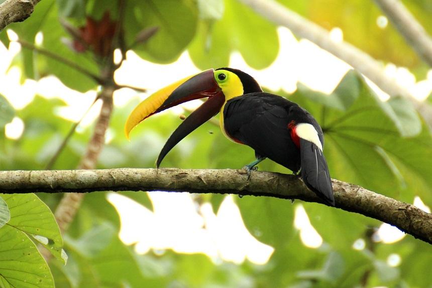Costa Rica rondreis toucan