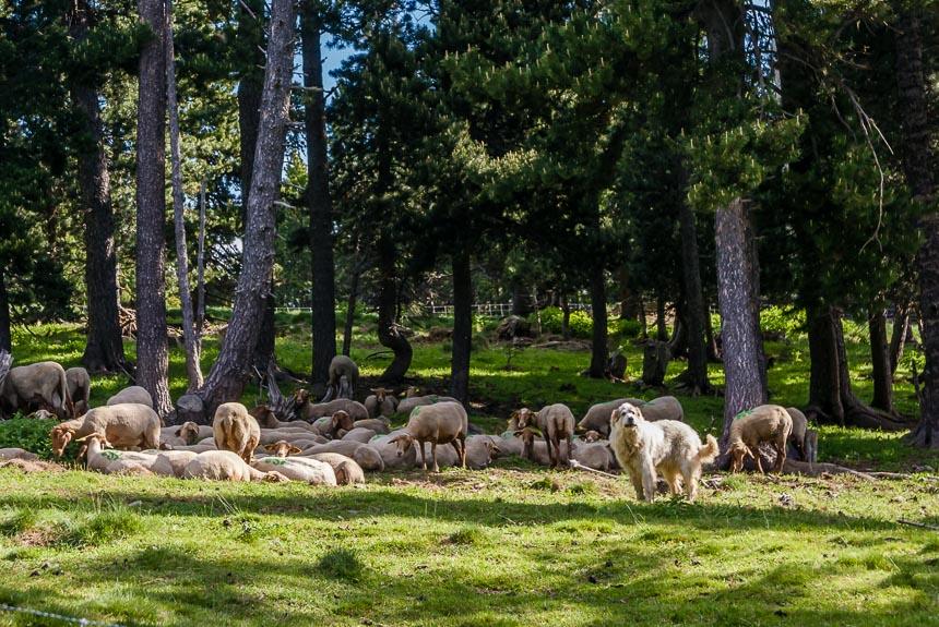 Een kudde schapen met een schaapshond.